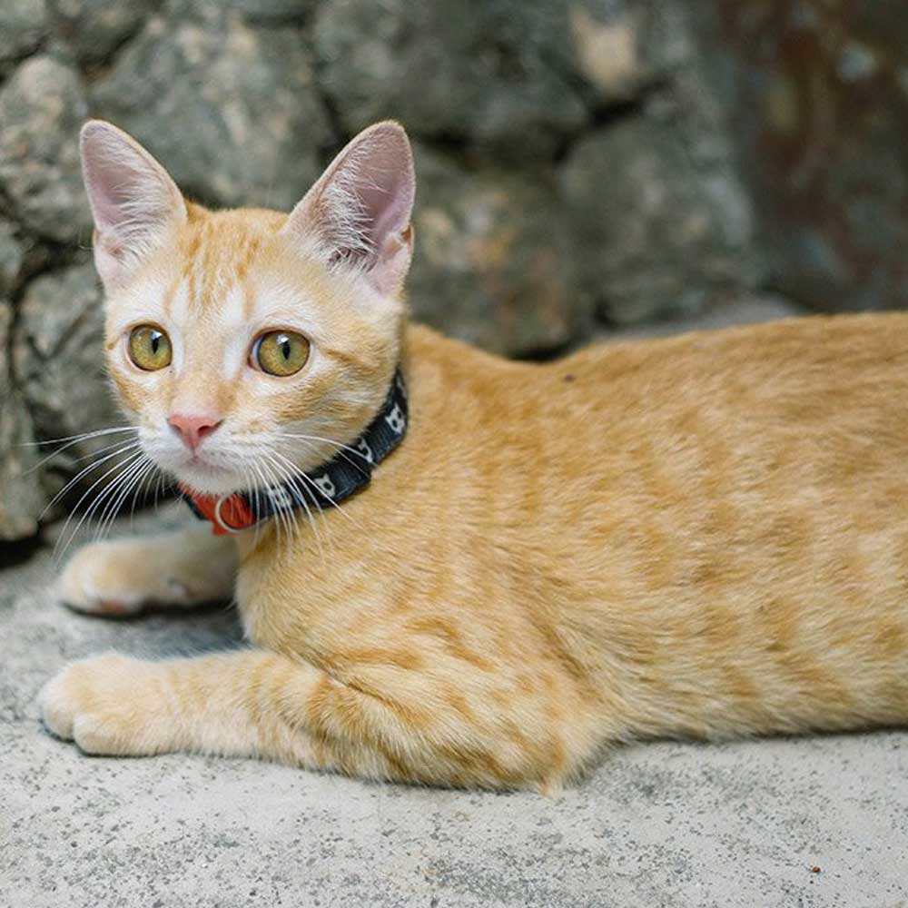 7e99f663b740 Κολάρο Γάτας με Σύστημα Γρήγορης Απασφάλισης της Zee Dog Skull 20-30x1cm