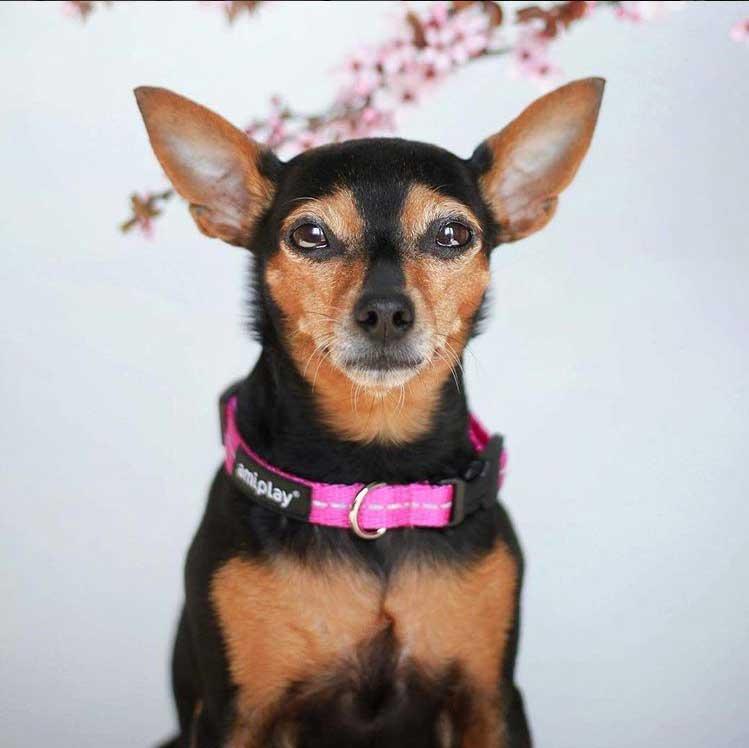 b2f904ce2e37 Περιλαίμιο Σκύλου με Ανακλαστικές Ραφές Amiplay Reflective Κόκκινο